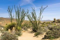 De installaties die van Ocotillofouquieria splendens een wandelingssleep, Joshua Tree National Park, Californië grenzen stock foto's