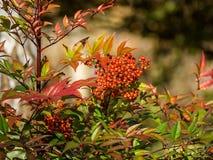 De installaties en de bladeren van de herfst in de tuin Stock Afbeelding