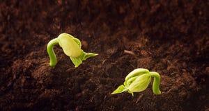 De installaties springen groene spruiten op groeien van de grond, de lente stock foto