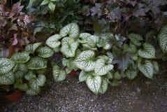 De installaties van Brunneramacrophylla royalty-vrije stock fotografie