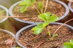 de installaties van de aardbeiboom in de groei bij gebied royalty-vrije stock foto's