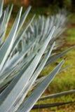De installaties van de agave Stock Afbeeldingen