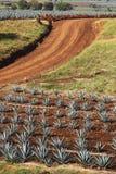 De installaties van de agave Stock Foto's