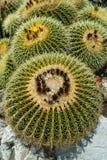 De installaties van de cactus Royalty-vrije Stock Afbeelding