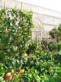 De installaties van de citroen Royalty-vrije Stock Foto
