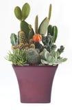 De Installaties van de Pot van de cactus royalty-vrije stock afbeeldingen