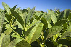 De Installaties van de tabak Royalty-vrije Stock Fotografie