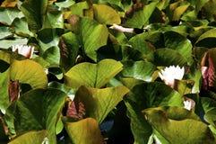 De installaties van de Waterliliesaard Royalty-vrije Stock Foto's