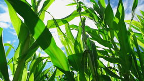 De Installaties van de zoete maïsmaïs in gecultiveerd landbouwgebied met zonstralen en gloed klaar voor het silaging stock video