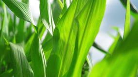 De Installaties van de zoete maïsmaïs op gecultiveerd landbouwgebied klaar voor ensilage stock footage