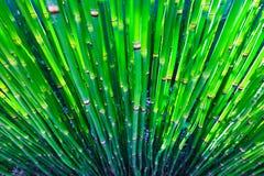 De installaties van het bamboe Stock Foto