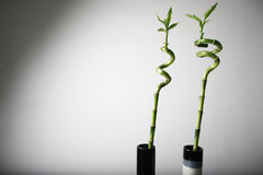 De installaties van het bamboe Royalty-vrije Stock Foto