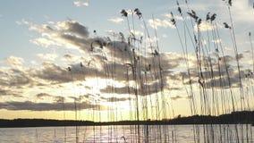 De installaties van het meerriet met mooie zonsonderganghemel met wolken stock video