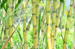 De installaties van het suikerriet Royalty-vrije Stock Afbeelding