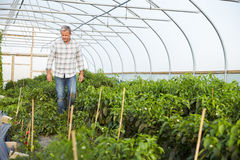 De Installaties van landbouwerschecking organic chilli in Serre royalty-vrije stock afbeelding