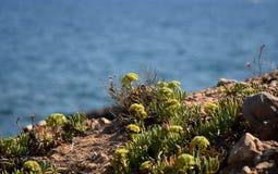 De installaties van muurpeperrockery met blauwe oceaanachtergrond Stock Foto