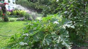 De installaties van de tuinmanzorg in droogte drogen de zomer 4K stock footage