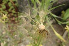 De installatiezaden van de haverwortel - Tragopogon Porrifolius royalty-vrije stock fotografie