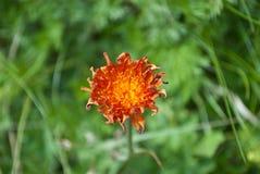 De intense oranje kleur van het bergviooltje Stock Afbeelding