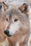 De intense Wolf van het Hout stock afbeelding