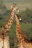 De interactie van de giraf royalty-vrije stock foto