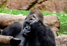 De interessante Gorilla zit hier en denkt intensief stock foto's