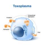 De invasie en de verspreiding van toxoplasmagondii in de cel royalty-vrije illustratie
