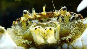 De invasieve species, harrisii van invallerrhithropanopeus, gemeenschappelijke namen omvatten de Zuiderzee-krab stock video