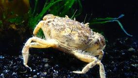 De invasieve species, harrisii van invallerrhithropanopeus, gemeenschappelijke namen omvatten de Zuiderzee-krab stock footage