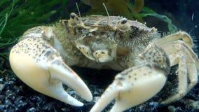 De invasieve species, harrisii van invallerrhithropanopeus, gemeenschappelijke namen omvatten de Zuiderzee-krab stock videobeelden