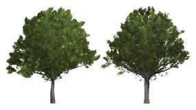 De inzameling van boom Eiken die boom op witte achtergrond wordt geïsoleerd stock foto's