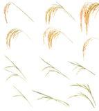 De inzameling van de rijst Stock Afbeeldingen
