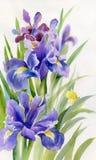 De Inzameling van de waterverfbloem: Irissen stock illustratie