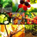 De inzameling van de wijngaard bij de herfst Stock Afbeelding