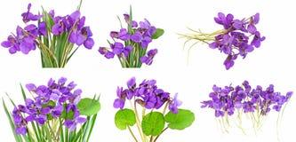 De inzameling van viooltjes Royalty-vrije Stock Afbeeldingen