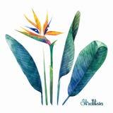 De inzameling van waterverfstrelitzia stock illustratie