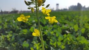 De Inzamelings gele bloem van het aardbehang royalty-vrije stock fotografie