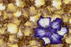 De iris bloeit achtergrond stock afbeelding
