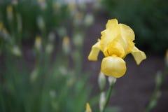 De iris bloeit close-up royalty-vrije stock foto's