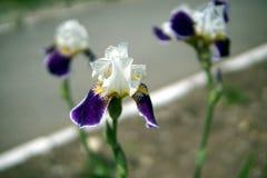 De iris bloeit close-up royalty-vrije stock afbeelding