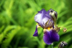 De iris bloeit close-up stock afbeelding