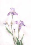 De iris bloeit waterverf het schilderen stock illustratie