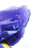 De iris van de bloem Royalty-vrije Stock Fotografie