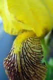 De Iris van de bloem Stock Afbeelding