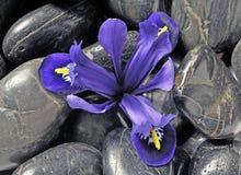 De iris van de lente Stock Foto's