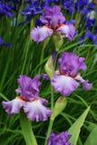 De Iris van de tuin Stock Afbeelding