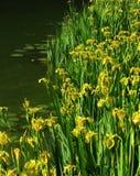 De Iris van de vijver Stock Afbeelding