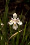 De Iris van Louisiane Royalty-vrije Stock Fotografie