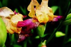 De irissen van bloemen Royalty-vrije Stock Afbeelding
