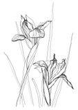 De irissen van de tekening Stock Afbeelding